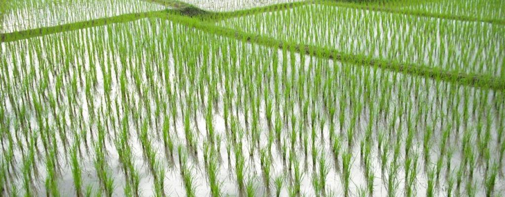 Rice Growing in Pallisa